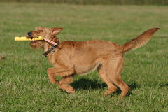 Irish terrier. Cute dog having fun with its toy stock images