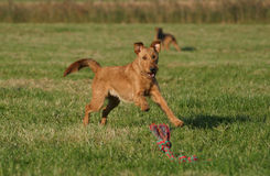 Irish terrier. Cute dog having fun with its toy stock photos
