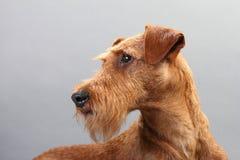 Irish terrier Royalty Free Stock Image