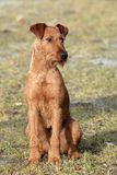Irish Terrier Royalty Free Stock Photo