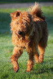 Irish Terrier. Walking in the early morning sunlight and wet grass Stock Photography