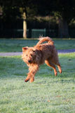 Irish Terrier. Happy Irish Terrier in the early morning sunlight and wet grass Stock Photography