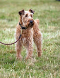 Irish Terrier Royalty Free Stock Photography