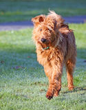 Irish Terrier stock images