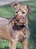 Irish Terrier stock image