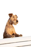Irish terrier on the bench. Isolated on white stock images