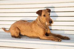 Irish terrier on the bench. royalty free stock images
