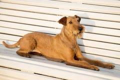 Irish terrier on the bench. stock image
