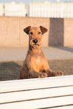 Irish terrier on the bench. Outdoor. stock photo