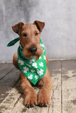 THE IRISH TERRIER CELEBRATES SAINT PATRICK S DAY royalty free stock photo