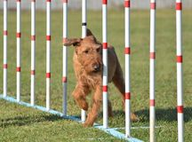 Irish Terrier at Dog Agility Trial. Irish Terrier Doing Weave Poles at Dog Agility Trial Stock Photos