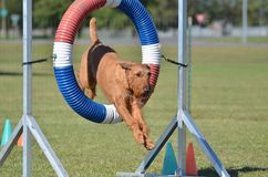 Irish Terrier at Dog Agility Trial Royalty Free Stock Images