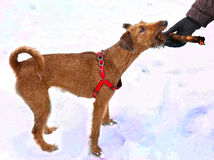 Irish terrier dog gnaw chew stick play. On the snow background Royalty Free Stock Photography