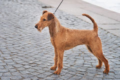 Irish terrier friendly cute pet, dog. Outdoor Stock Image