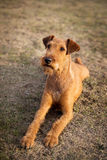 Irish terrier friendly cute pet, dog. Outdoor Stock Photo