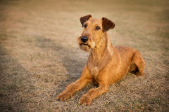 Irish terrier friendly cute pet, dog. Outdoor Royalty Free Stock Photo