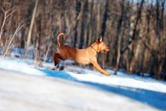 Irish Terrier jumping in the snow on the background of trees Stock Photo