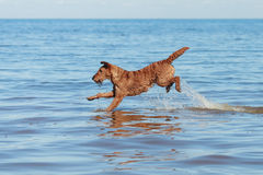 The Irish Terrier jumping in the water. Happy Irish Terrier jumping in the water Stock Photos