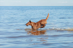 The Irish Terrier jumping in the water. Happy Irish Terrier jumping in the water Royalty Free Stock Image