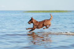 The Irish Terrier jumping in the water. Happy Irish Terrier jumping in the water Stock Photography