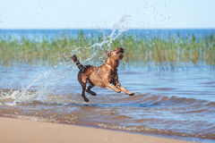 The Irish Terrier jumping in the water. Happy Irish Terrier jumping in the water Royalty Free Stock Photography