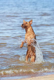 The Irish Terrier jumps out of the water. Summer. The Irish Terrier jumps out of the water royalty free stock photos