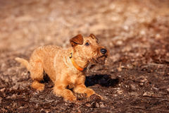 Irish Terrier lays on the ground and gets ready to play. The Irish Terrier lays on the ground and gets ready to play stock images