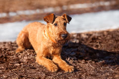 Irish Terrier lays on the ground and looking forward. The Irish Terrier lays on the ground and looking forward stock photography