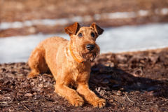 Irish Terrier lays on the ground and looks up. The Irish Terrier lays on the ground and looks up stock images