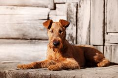 Irish Terrier lies on the porch of an old wooden house. Red Irish Terrier lies on the porch of an old wooden house Stock Photography