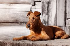Irish Terrier lies on the porch of an old wooden house. Royalty Free Stock Image