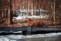 Irish Terrier lying on a bridge on a background of trees. Red Irish Terrier lying on a bridge on a background of trees Royalty Free Stock Photography