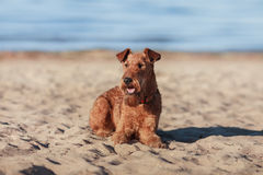 The Irish Terrier is lying on the sand near the water. Happy Irish Terrier is lying on the sand near the water Stock Image