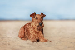 The Irish Terrier is lying on the sand near the water. Happy Irish Terrier is lying on the sand near the water stock photos