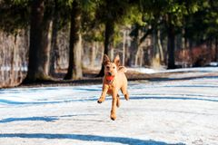 Irish Terrier plays with ball in the Park in winter Stock Images