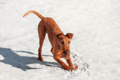 The Irish Terrier plays in the snow in the winter. Irish Terrier plays in the snow in the winter royalty free stock photos