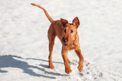 The Irish Terrier plays in the snow in the winter. Irish Terrier plays in the snow in the winter royalty free stock photo