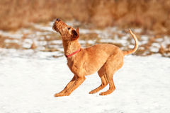 The Irish Terrier plays in the snow in the winter. The Irish Terrier curved back before the jump royalty free stock photos