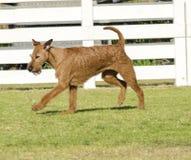 Irish Terrier Stock Photos