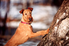 The Irish Terrier put his front paws on the tree trunk. In spring stock photography