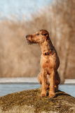 The Irish Terrier sits on a rock on a background of trees. Young Irish Terrier sits on a rock on a background of trees royalty free stock photography