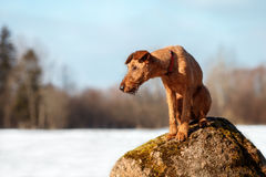 The Irish Terrier sits on a rock in a forest. In winter stock photos