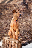 The Irish Terrier sits on a stump happy. Young Irish Terrier sits on a stump happy royalty free stock image