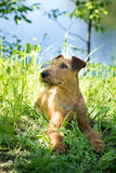 Irish terrier sitting on grass, summer, outdoor Royalty Free Stock Image