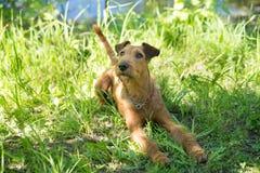 Irish terrier sitting on grass, summer, outdoor Royalty Free Stock Photo