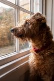 A Irish terrier sitting in a window looking out wishfully royalty free stock photo