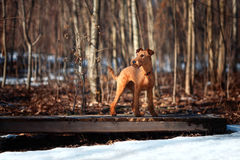 Irish Terrier stands on a bridge on a background of trees. Beautiful Irish Terrier stands on a bridge on a background of trees stock image