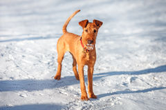 Irish Terrier stands in the snow. Young Irish Terrier stands in the snow stock images