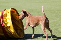 The Irish terrier at training on Dog agility Stock Photography