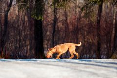 Irish Terrier walks in the snow with a ball Stock Photography